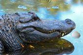 image of gator  - Alligator  - JPG