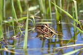 picture of winnebago  - Northern Leopard Frog  - JPG