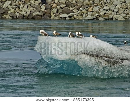 Seagulls On A Melting Ice