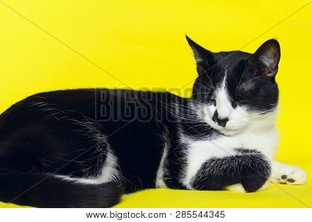 poster of Black Cat On Yellow Background, Cropped Shot.cute Tuxedo Cat Over Yellow Background. Close Up Of A C
