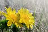 stock photo of adonis  - The Beautiful yellow flowers of Adonis vernalis - JPG