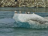 Seagulls On A Melting Ice Floe. Ice Drift On The River. Spring Sun And Melting Ice. Large Ice Floes  poster