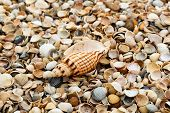 Macro Mode. A Large Beautiful Shell Lies Among The Many Small Shells On The Shore poster