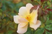 Tea Rose In The Autumn. Yellow Rose Closeup On Green Background. White Flower. Soft Focus. Rose Gard poster