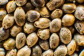 Close Up. Macro Detail Of Marijuana Seed. Hemp Seeds Background In Macro. Many Cannabis Seeds. Organ poster