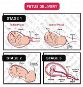 stock photo of cervix  - VECTOR  - JPG