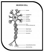 Human Neuron Cell - Including Cell Parts ( dendrite, nucleus, myelin sheath, axon, body, membrane, t