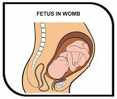 VECTOR - Fetus in Womb - Helpful for Education in Schools, Colleges, Universities and Useful for Cli