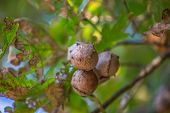 Detailed View Of Oak Galls On Oak Tree, Blurred Background... poster