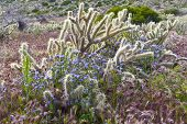 image of anza  - Desert wildflowers and cactus in bloom in Anza Borrego Desert State Park - JPG