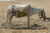 stock photo of mud pack  - mud mammal ungulate animal husbandry pack hybrid desert busy tired - JPG