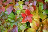 Virginia Creeper.