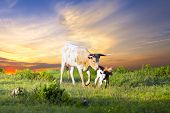 stock photo of calf cow  - Female Longhorn cow grazing in a Texas pasture at sunrise with two newborn calves - JPG