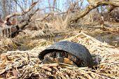 picture of endangered species  - The Blandings Turtle  - JPG