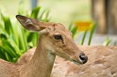 stock photo of roebuck  - Deer of Thailand to bring them in the zoo - JPG