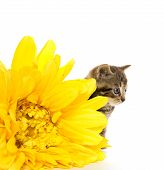 image of yellow tabby  - Cute baby tabby kitten with yellow flowers on white background - JPG