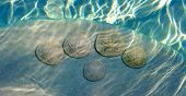 picture of sand dollar  - Sand Dollar animal sea shell in a circular shape - JPG