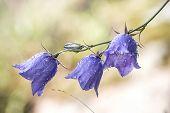 stock photo of harebell  - Bluebell flower  - JPG