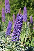 picture of borage  - many echium fastuosum flower  - JPG