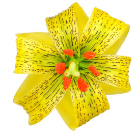 picture of asiatic lily  - Yellow Asiatic lily with Black Spots and Orange Anthers Isolated on White - JPG