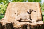 stock photo of greyhounds  - Elegant greyhound laying  on the stump in park - JPG