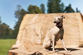 stock photo of greyhounds  - Elegant greyhound sitting  on the stump in park - JPG