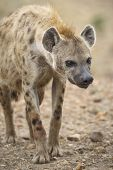 picture of hyenas  - A curious hyena Masai Mara National Reserve Republic of Kenya East Africa - JPG