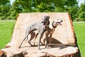 stock photo of greyhounds  - Two greyhounds standing on the  stump in park - JPG