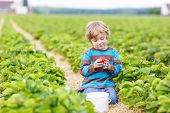 stock photo of strawberry blonde  - Funny little kid picking and eating strawberries on organic bio berry farm in summer on warm sunny day - JPG