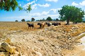 stock photo of neo  - The herd of goats walks along the road Neo Chorio Cyprus - JPG