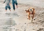 foto of puppy beagle  - Beagle puppy running on the sea beach - JPG