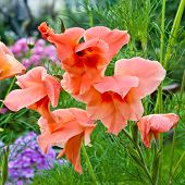 picture of gladiolus  - Closeup photo of gladiolus flowers with decorative green grass on background - JPG