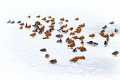 image of duck pond  - ducks in winter on the white snow with pond - JPG