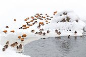 picture of duck pond  - ducks in winter on the white snow with pond - JPG