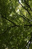 image of canopy roof  - The photograph of the tree crown and the dense leaves of a deciduous tree roof - JPG