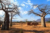 picture of baobab  - House surrounded by baobab trees in Africa Tanzania - JPG