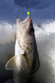 picture of ice fishing  - walleye being pulled through the ice on a frozen lake - JPG