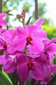 picture of orquidea  - Beautiful violet Orchids Phalaenopsis Hybrid flower in the garden - JPG