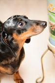 pic of dog-house  - funny dachshund dog standing on the floor in the room - JPG