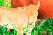 pic of eat grass  - young baby cow with mom eat fresh green grass on soil ground culture thai agriculture vintage style - JPG