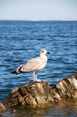 pic of wallow  - Seagull standing on the sunken ship in brightly blue sea - JPG
