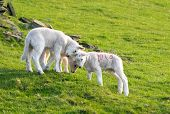 image of spring lambs  - Three spring lambs on green hillside playing - JPG