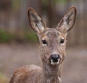 foto of roebuck  - female European roe deer  - JPG