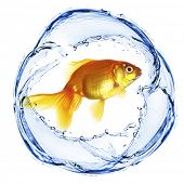 pic of goldfish  - Goldfish in water splashing isolated on white - JPG