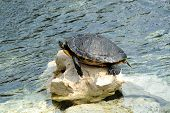picture of terrapin turtle  - Turtle Sunbathing with Head Sticking Out of Shell on Rock Along Shoreline of Water - JPG
