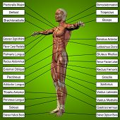 foto of triceps brachii  - Concept or conceptual 3D male or human anatomy - JPG