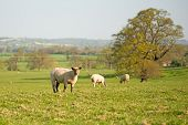 stock photo of spring lambs  - Stock image of sheep grazing in a field on a spring day in England - JPG