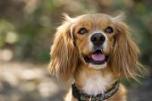 pic of dog ears  - A Cocker Spaniel cross dog with fluffy ears is looking up curiously - JPG