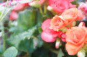 image of begonias  - blurry defocused image of orange begonia flower in flowerbed for background - JPG