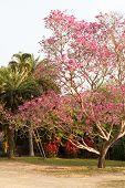 foto of trumpet flower  - blooming pink flower of pink trumpet tree in the garden - JPG